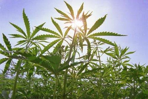 Ранее судимый агроном задержан за выращивание конопли