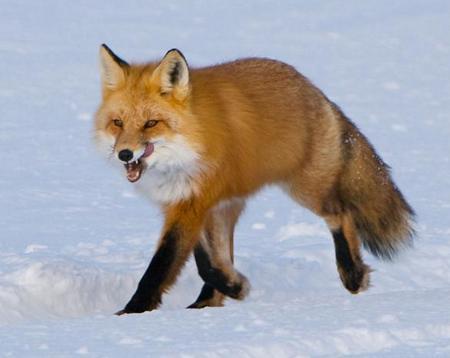 Подозрительные лисы обнаружены сразу в нескольких местах Коломенского района