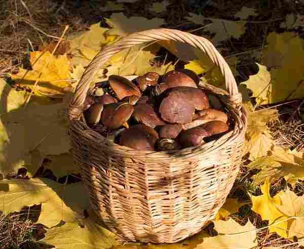 В Коломне ищут очередного грибника, заблудившегося в лесу